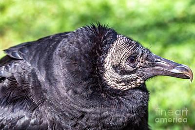 Black Vultures Original