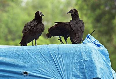 Trio Photograph - Black Vultures by Bob Gibbons
