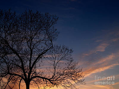 Walnut Tree Photograph - Black Walnut Tree In Sunset by Anna Lisa Yoder