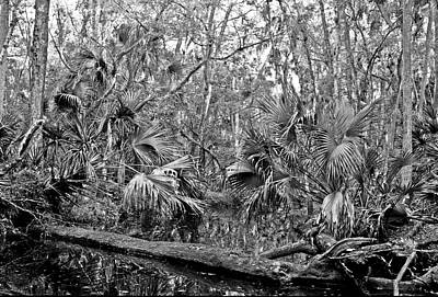 Photograph - Black Water. Green Swamp Wildlife Management Area Polk County. by Chris  Kusik