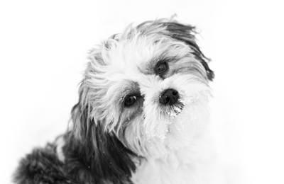 Black  White Puppy Art Print by Paulina Szajek