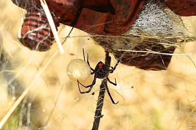 Black Widow Spider Photograph - Black Widow by Jim Baines