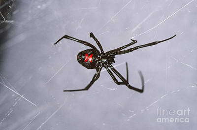 Black Widow Spider Photograph - Black Widow by Scott Camazine
