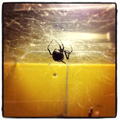 Photograph - Black Widow Spider by Gary Smith