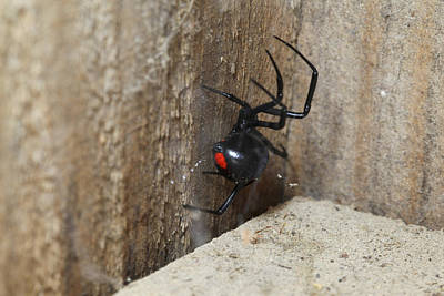 Photograph - Black Widow Spider by Robert Camp