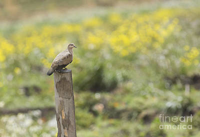 Photograph - Black-winged Ground Dove by Dan Suzio