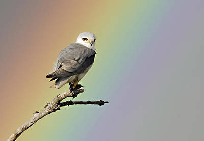 Black-winged Kite And Rainbow Art Print by Wim Werrelman