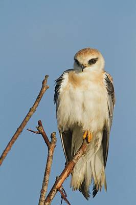 Birds Of Israel Photograph - Black-winged Kite (elanus Caeruleus) by Photostock-israel