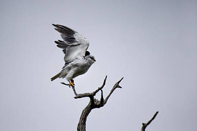 Photograph - Black-winged Kite by Havard Rosenlund