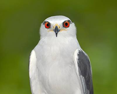 Photograph - Black-winged Kite by Tony Beck