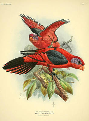 Black Winged Lory Art Print by Rob Dreyer
