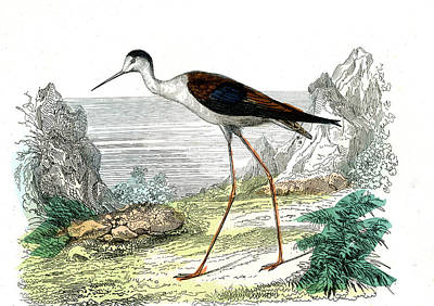 Black-winged Stilt Art Print by Collection Abecasis