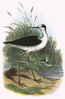 Black Winged Stilt Art Print by English School