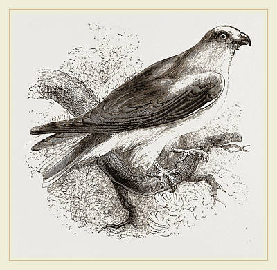 Swallow Drawing - Black-winged Swallow Hawk by Litz Collection