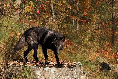 Photograph - Black Wolf by Daniel Behm