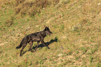 Black Wolf From Mollie's Pack In Lamar Print by Tom Norring