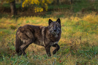 Photograph - Black Wolf In Fall Colors by Mark Steven Perry