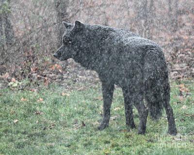 Black Wolf In Snowstorm Art Print