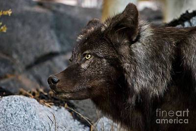 Photograph - Black Wolf by Ms Judi