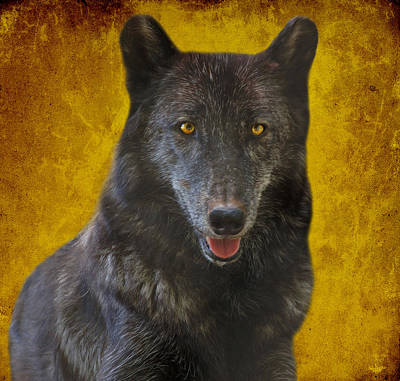 Photograph - Black Wolf by Sandy Keeton