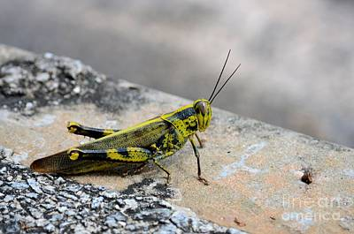 Photograph - Black Yellow And Green Camouflage Grasshopper Insect by Imran Ahmed