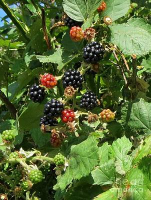 Photograph - Blackberries by Susanne Baumann