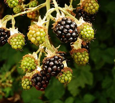 Photograph - Blackberries by VLee Watson