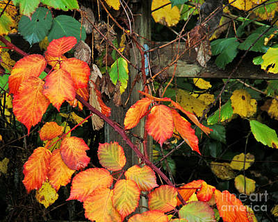 Photograph - Blackberry And Fence by Chuck Flewelling