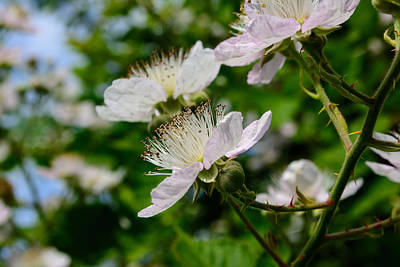Photograph - Blackberry Blossom by Tikvah's Hope
