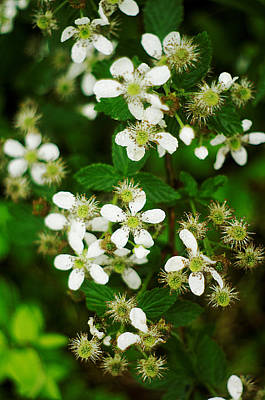 Art Print featuring the photograph Blackberry Blossoms by Suzanne Powers