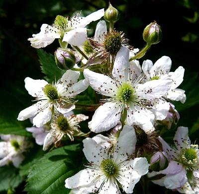Photograph - Blackberry Bush In Bloom by Will Borden