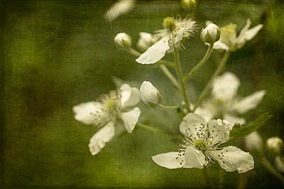 Photograph - Blackberry Flowers With Textures by Wayne Meyer