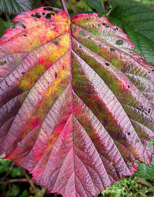 Photograph - Blackberry Leaf In The Fall 2 by Duane McCullough