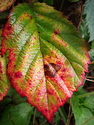 Photograph - Blackberry Leaf In The Fall 4 by Duane McCullough