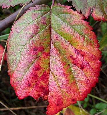 Photograph - Blackberry Leaf In The Fall 5 by Duane McCullough