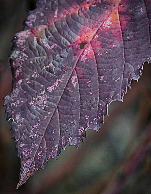Photograph - blackberry Leaf by Ron Roberts
