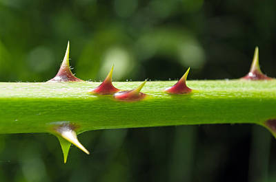 Photograph - Blackberry Thorns by Tikvah's Hope