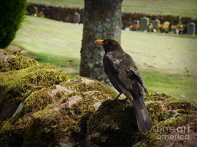 Photograph - Blackbird In Edzell by Valerie Reeves