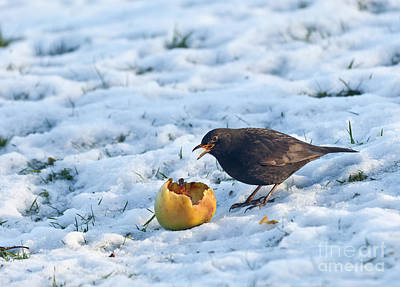 Photograph - Blackbird Eats Apple On Snow by Liz Leyden