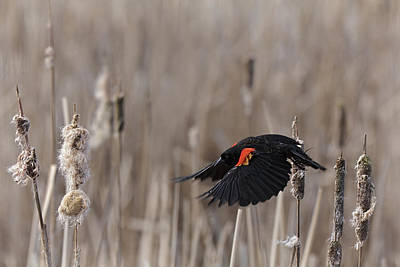 Photograph - Blackbird Fly D8108 by Wes and Dotty Weber