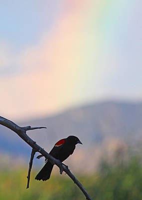 Blackbird In Front Of Rainbow Art Print