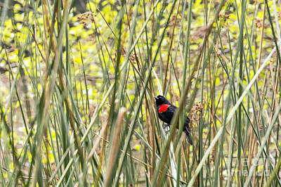 Photograph - Blackbird In Reeds by Kate Brown
