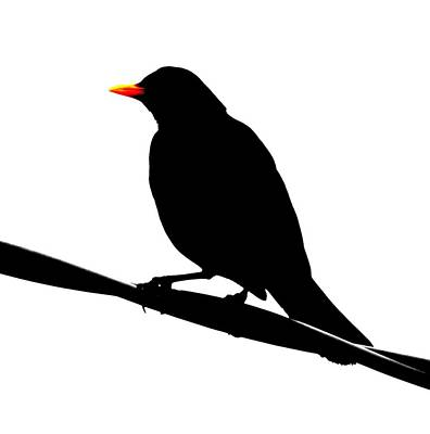 Blackbird Photograph - Blackbird On A Wire by Bishopston Fine Art