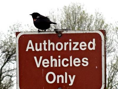 Blackbird On Patrol Art Print by Lizbeth Bostrom