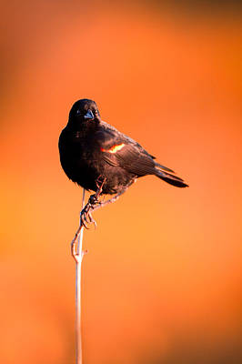 Photograph - Blackbird On Plant by Celso Diniz