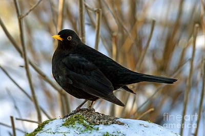 Yellow Beak Photograph - Blackbird On The Rock by Torbjorn Swenelius