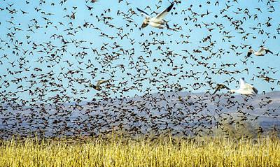 Blackbirds And Geese Art Print