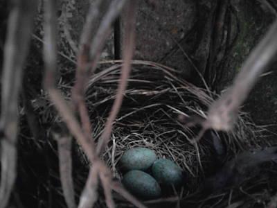Photograph - Blackbirds Nest by Geoff Cooper