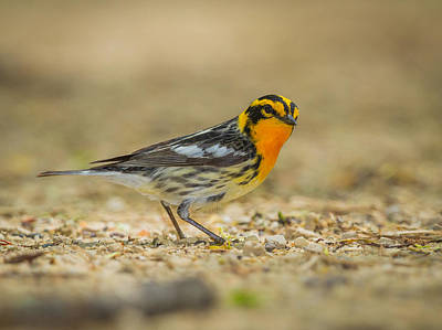 The Playroom - Blackburnian Warbler by Chris Hurst