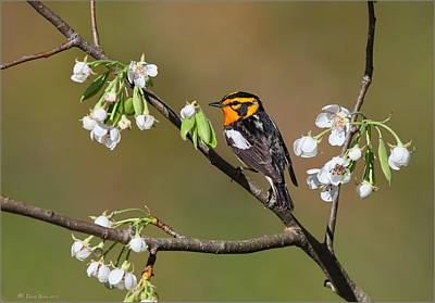 Photograph - Blackburnian Warbler by Daniel Behm
